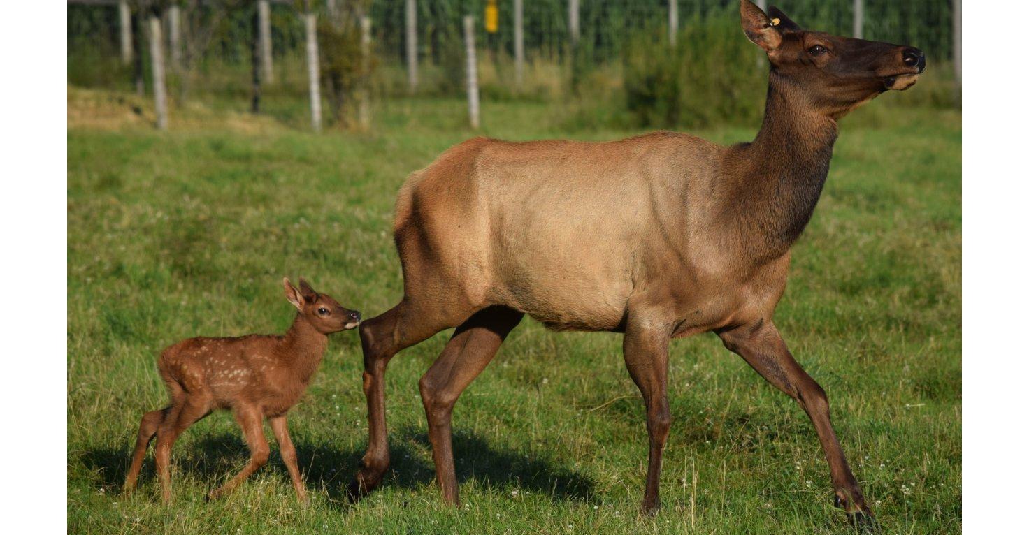 wildwood park zoo elk calf marshfield