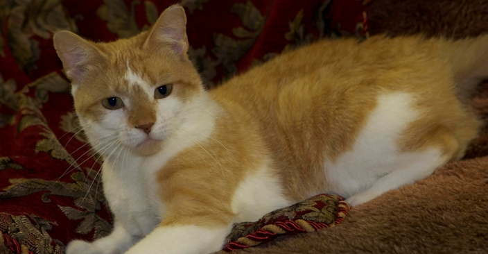 Featured MAPS pet of the week marshfield area shelter cat adoption sandy