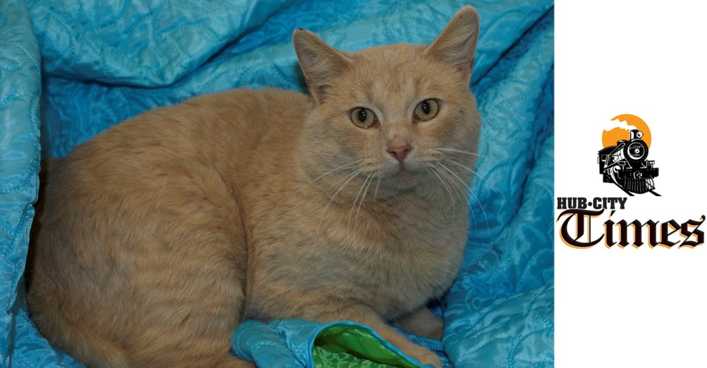 Featured MAPS pet of the week marshfield area shelter adoption cat ted