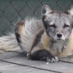 Blizzard, Wildwood Park & Zoo's Arctic fox
