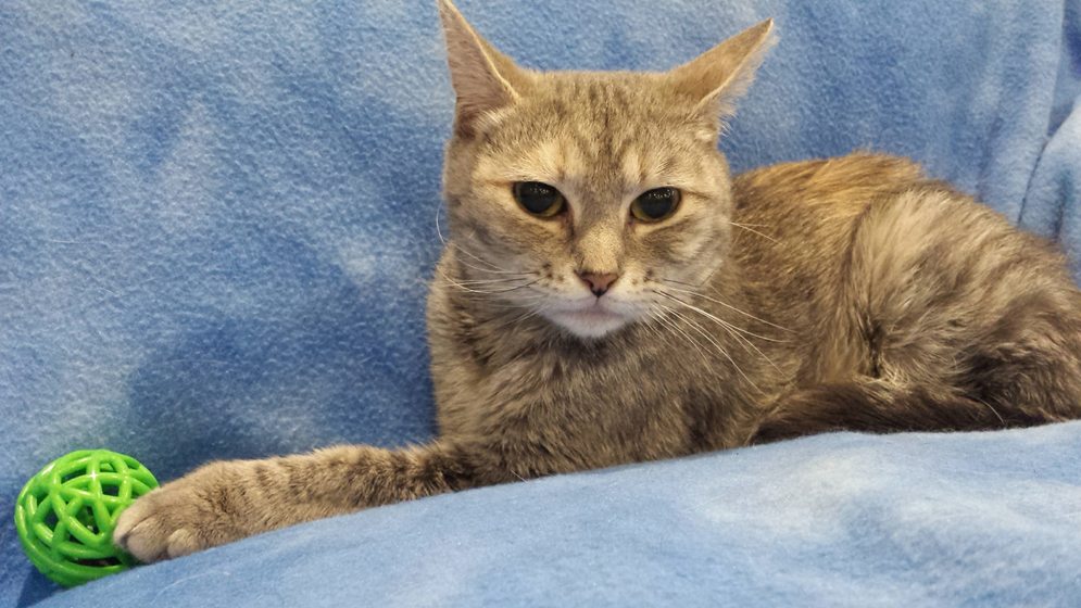 Featured MAPS pet of the week marshfield area shelter adoption cat malina