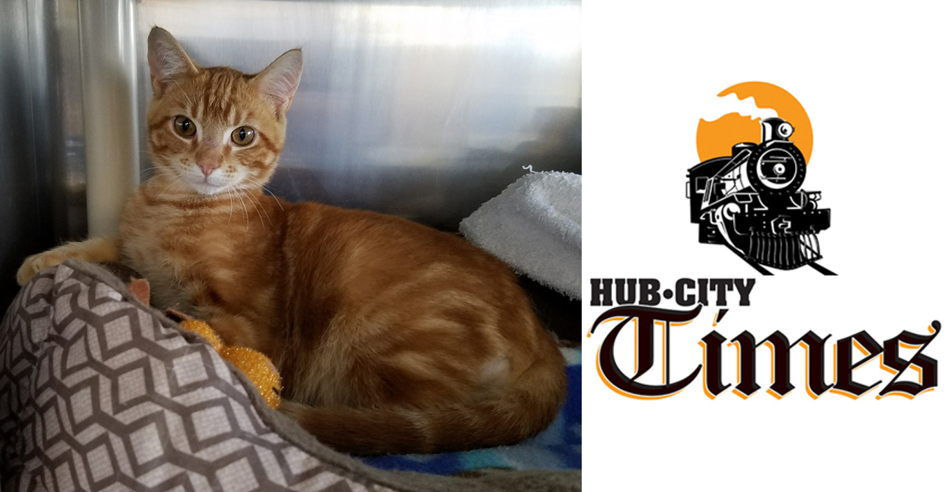 Featured MAPS pet of the week marshfield area shelter adoption cat samson